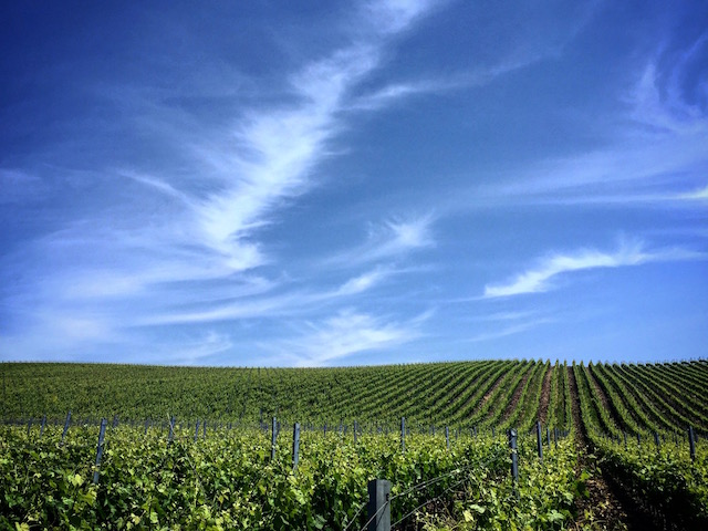 John Sebastiani Vineyard